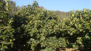 breadfruit a tropical superfood could help the s hungry