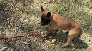 belgian shepherd history belgian malinois puppy building prey drive youtube