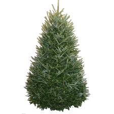shop 7 8 ft fresh fraser fir tree at lowes