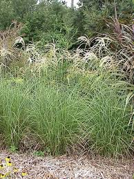 native florida plants for home landscapes an introduction to ornamental grasses and grasslikes for southern