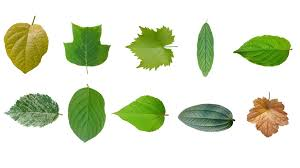 leaf texture 10 pack tree leaves 3d model cgtrader