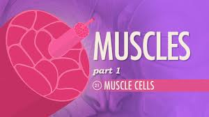 Anatomy And Physiology The Muscular System Muscles Part 1 Muscle Cells Crash Course A U0026p 21 Youtube