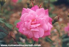 china with roses blush china shrub potted and bare root roses from