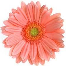 gerbera daisies gerbera coral wedding flowers