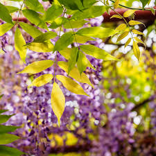 leaves on wisteria turning yellow u2013 why do wisteria leaves turn yellow