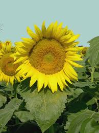 Grinter Farms Grinter U0027s Sunflower Farm Art Design Joy