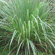 ornamental grass seeds ebay