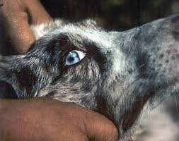 australian shepherd diseases iris coloboma u0026 iris hypoplasia australian shepherd health