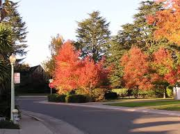 new to sac area why trees is starting to show fall colors now