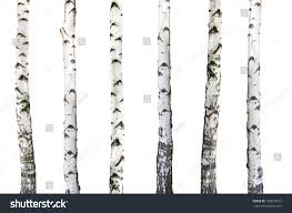 natural background birch wallpaper stock photo 105618557