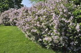 lilac tree vs lilac bush difference between lilac trees and