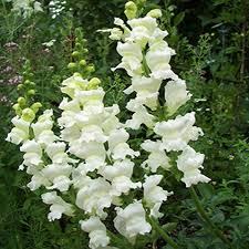 snapdragon flowers white snapdragon flower seeds seeds