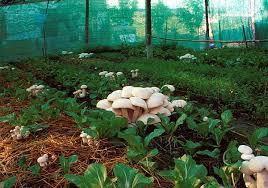 mykoweb mushrooms in the garden