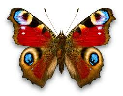 admiral butterfly photo picture definition admiral butterfly