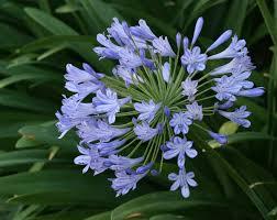 blue lilies blue