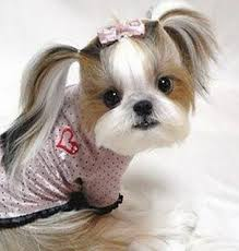 pictures of shih tzu haircuts shih tzu groomed japanese style dogs pinterest japanese