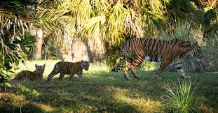 Extreme Filhotes de tigre-de-sumatra em extinção chegam a Maharajah Jungle  &RJ63