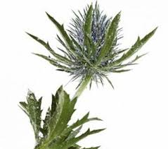 cheap bulk flowers cheap bulk flowers eryngium thistle