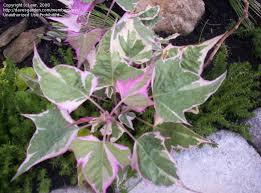 28 where to buy ornamental sweet potato vine plantfiles