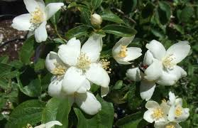 Fragrant Night Blooming Plants - the fragrant garden a word on the fragrance of california native