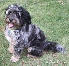 pictures of australian shepherd dogs aussiedoodle dog breed information and pictures