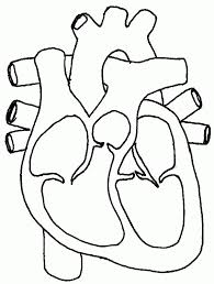 human heart coloring page free coloring pages on masivy world for