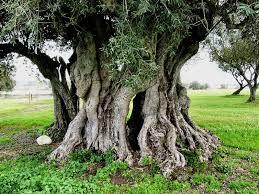 186 the allegory of the olive trees bom gospel doctrine lesson 13