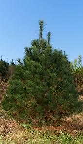 white pine trees wholesale white pine trees pinus strobus brown s tree farm