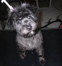 schnoodle breed info photos pictures and pics pettium