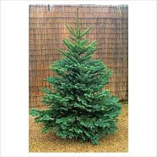 real noble fir tree the forest