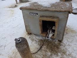 dog barn angel the cool sled dog news from the finalists for 2014 iditarod