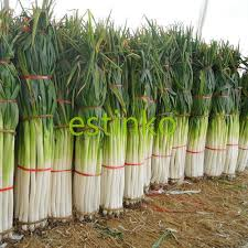 300pcs zhangqiu giant chinese green onion seeds vegetable seeds