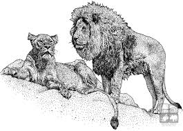 african lion and lioness panthera leo line art and full color