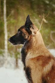belgian shepherd for sale in pakistan 213 best mozaico images on pinterest tiles mexican tiles and