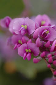 australian native plants pictures and names pretty peas native pea flowers