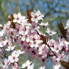 ornamental garden cherry trees for sale as a gift from uk tree