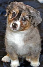 australian shepherd yorkie puppies mini australian shepherd puppy for sale in boca raton south florida