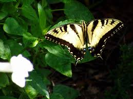 white tiger butterfly