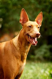 afghan hound vetstreet pharaoh hound dog breed information pictures characteristics