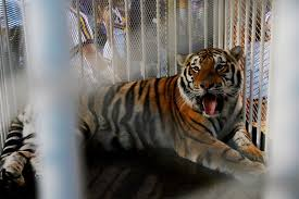 at lsu mike the tiger u0027s passing is more than just the loss of a