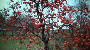 persimmon trees for sale 3 00 from tn tree nursery