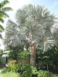 backyard garden with tropical plants and bismarck palm tree