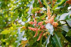 Mango Boom flowering mango tree stock image image of nobody green 91625871