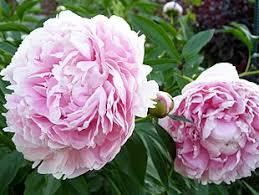 pianese flowers peony