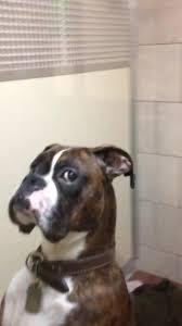 boxer dog vine dog doesn u0027t appreciate chest slap jukin media