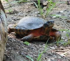 wood turtle wikipedia