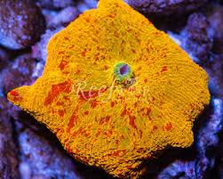 where to buy jawbreakers want to buy jawbreaker reef2reef saltwater and reef