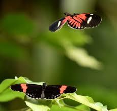 passion flower butterfly the cincinnati zoo u0026 botanical garden