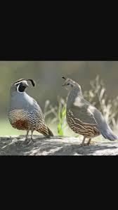 best 25 quail eggs for sale ideas on pinterest easter decor