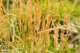 how to choose an ornamental grass